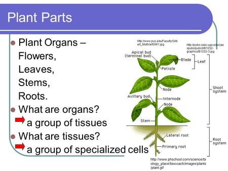 Plant Parts Plant Organs – Flowers, Leaves, Stems, Roots.
