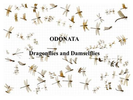 ODONATA Dragonflies and Damselflies. Forerunners of the Odonata Paleodictyoptera Protodonata.