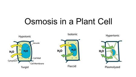 Osmosis in a Plant Cell.