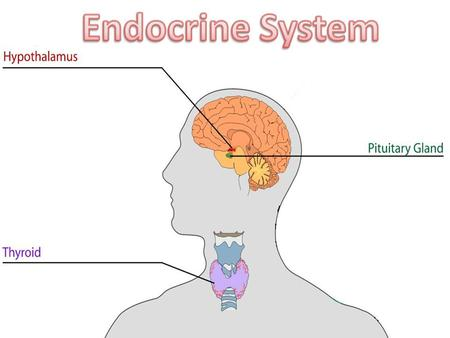Endocrine System Overview Physically disconnected Controls growth, development, responses Glands: Major organs of the endocrine system – makes hormones.