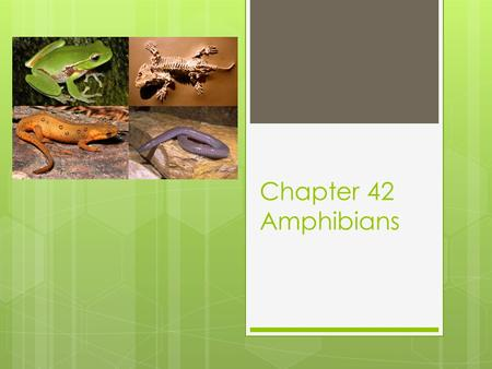 "Chapter 42 Amphibians. 42-1 Origin and Evolution  Amphibian comes from the Greek for ""double"" and ""life""  Evolved from lobe-finned bony fishes  370."