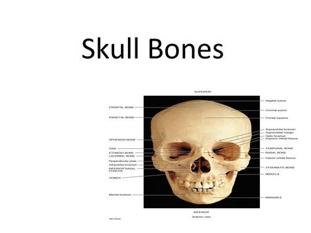 Skull Bones. 28 Bones & Hyoid 6 single 11 paired.