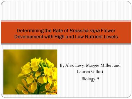 By Alex Levy, Maggie Miller, and Lauren Gillott Biology 9 Determining the Rate of Brassica rapa Flower Development with High and Low Nutrient Levels.