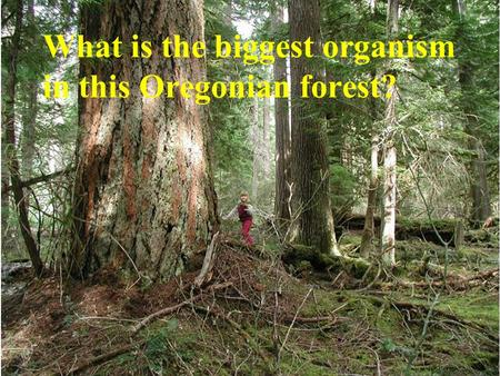 What is the biggest organism in this Oregonian forest?