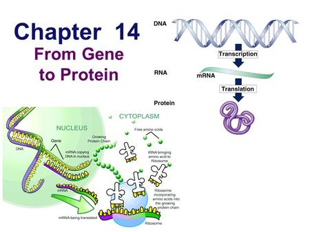 Chapter 14 From Gene to Protein Metabolism Teaches Us About Genes Metabolic defects  studying metabolic diseases suggested that genes specified proteins.