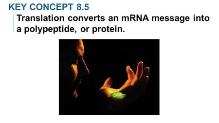 KEY CONCEPT 8.5 Translation converts an mRNA message into a polypeptide, or protein.