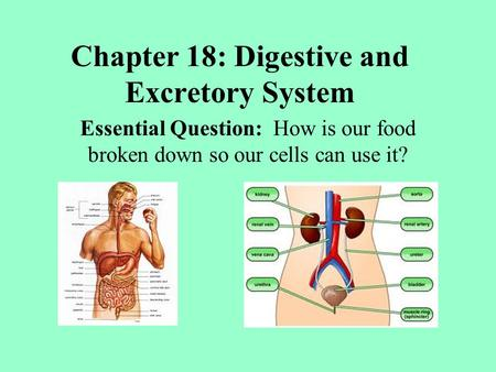 Chapter 18: Digestive and Excretory System Essential Question: How is our food broken down so our cells can use it?