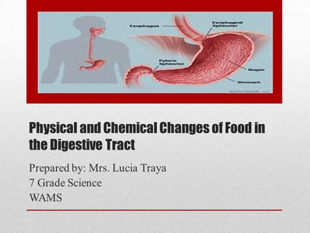 Physical and Chemical Changes of Food in the Digestive Tract Prepared by: Mrs. Lucia Traya 7 Grade Science WAMS.