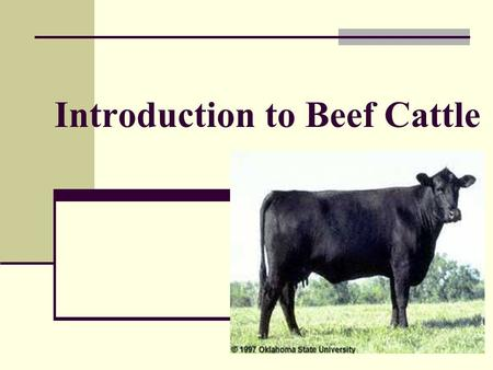 Introduction to Beef Cattle Bovine Humor Objectives Describe terms commonly used with beef cattle. Learning the language Identify external parts of.