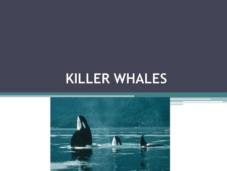 KILLER WHALES BASIC INFORMATION Classification: Order Cetacea, suborder Odontoceti (toothed whales) Family Delphinidae (dolphins) Orcinus orca = killer.
