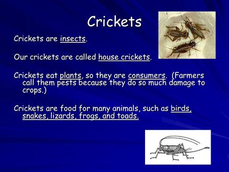 Crickets Crickets are insects. Our crickets are called house crickets. Crickets eat plants, so they are consumers. (Farmers call them pests because they.
