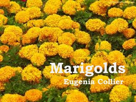 Marigolds Eugenia Collier. Build Background  Read the paragraph on page 74.  When was the story written?  Why did African-Americans suffer more than.