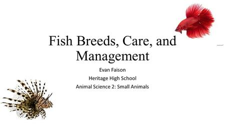 Fish Breeds, Care, and Management Evan Faison Heritage High School Animal Science 2: Small Animals.