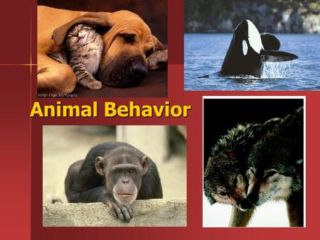 Animal Behavior. Adaptive Behavioral Responses Stimulus – Stimulus – –Internal stimuli tell an animal what is happening in its own body Ex. Thirst, hunger,