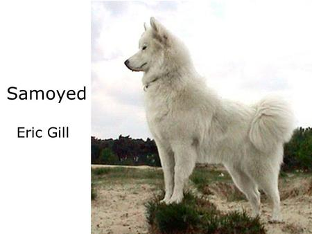 Samoyed Eric Gill. Temperment Gentle Dogs. Easy Going, Devoted, and Playful pets. Too friendly to be considered a Watchdog. Highly Intelligent, and training.
