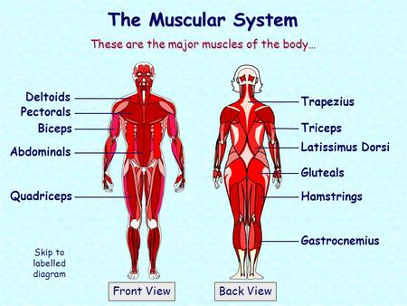 The Muscular System These are the major muscles of the body… Deltoids