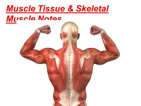 Muscle Tissue & Skeletal Muscle Notes. 3 Types of Muscle Tissue Skeletal muscle- striated and voluntary (it is subject to conscious control)