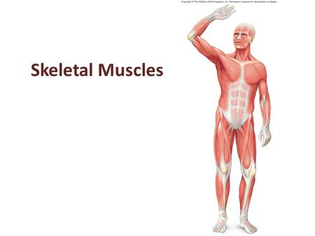 Skeletal Muscles. 2 Skeletal Muscle Actions Skeletal muscles generate a great variety of body movements. The action of each muscle depends upon the type.