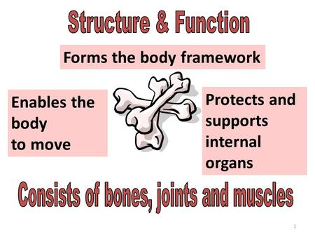 1 Structure and Function Forms the body framework Enables the body to move Protects and supports internal organs.