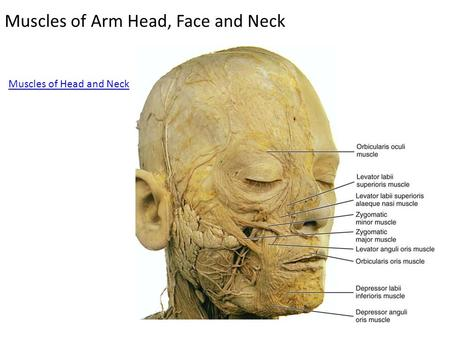 Muscles of Arm Head, Face and Neck Muscles of Head and Neck.