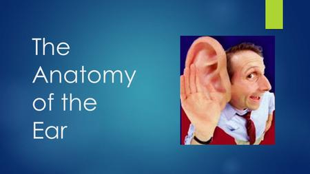 The Anatomy of the Ear. The Outer Ear The outer ear consist of the auricle, auditory canal, and the eardrum's outer layer. Auricle – the external cartilage.