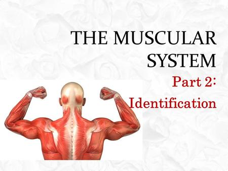 THE MUSCULAR SYSTEM Part 2: Identification. OBJECTIVES  Identify the major skeletal muscle of the human body  Explain each identified skeletal muscle's.