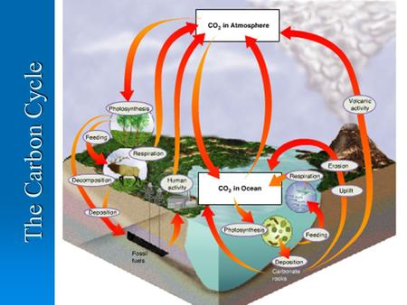 The Carbon Cycle. Objectives  To describe the main steps within the carbon cycle  To identify the main forms carbon is in at each step  To identify.