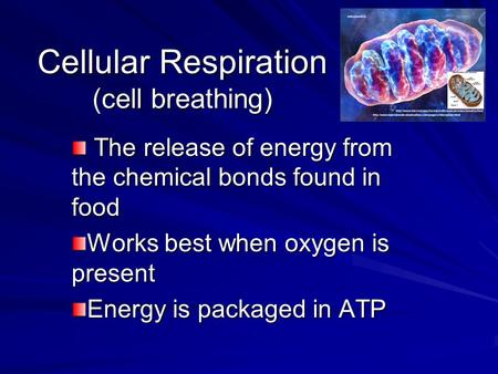 Cellular Respiration (cell breathing) The release of energy from the chemical bonds found in food The release of energy from the chemical bonds found in.
