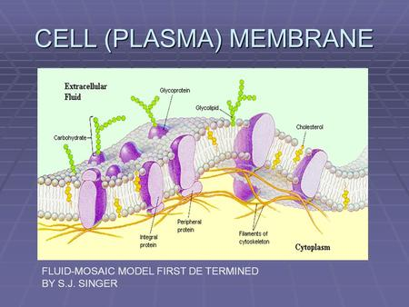CELL (PLASMA) MEMBRANE FLUID-MOSAIC MODEL FIRST DETERMINED BY S.J. SINGER.