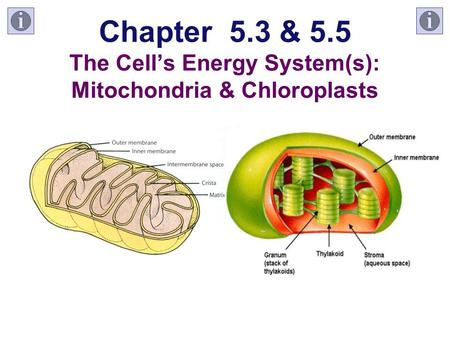 Chapter 5.3 & 5.5 The Cell's Energy System(s): Mitochondria & Chloroplasts.