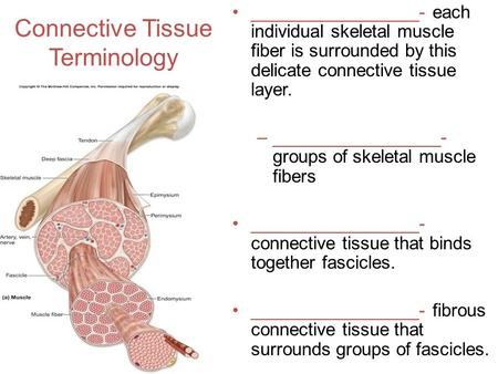 Connective Tissue Terminology _________________- each individual skeletal muscle fiber is surrounded by this delicate connective tissue layer. –_________________-