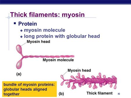 AP Biology 2005-2006 Thick filaments: myosin  Protein  myosin molecule  long protein with globular head bundle of myosin proteins: globular heads aligned.
