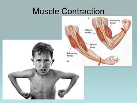 Muscle Contraction.