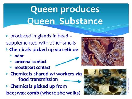 Queen produces Queen Substance  produced in glands in head – supplemented with other smells  Chemicals picked up via retinue  odor  antennal contact.