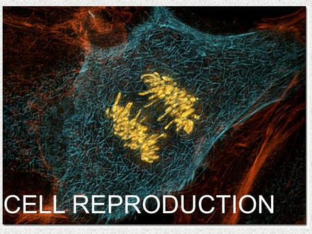 CELL REPRODUCTION. 1. Recall that as the cell grows, its volume increases much more rapidly than the surface area. -Therefore when a cell reaches a size.