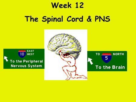 Week 12 The Spinal Cord & PNS What's ahead Identify structures of the spinal cord Identify peripheral nerves Identify components of the reflex arc.