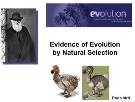 Evidence of Evolution by Natural Selection Dodo bird.