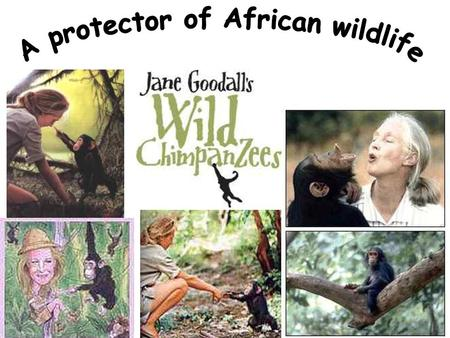 Jane Goodall went to Tanzania and studied chimps from 1960s. Her life was spent in the Gombe National Park in East Africa, following and recording the.