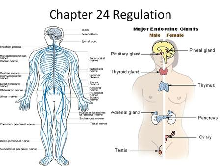 Chapter 24 Regulation. Why do you respond to changes around you? Your responses are controlled by your nervous and endocrine system. Together these 2.