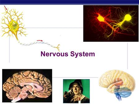 AP Biology 2007-2008 Nervous System. AP Biology Essential Knowledge: Animals have nervous systems that detect external and internal signals, transmit.