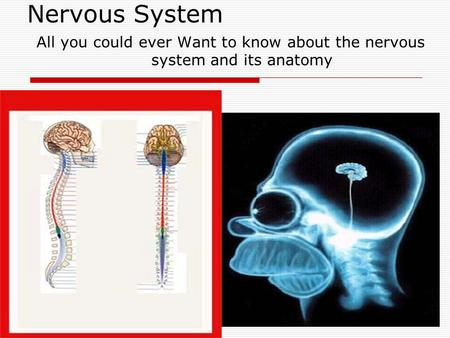 Nervous System All you could ever Want to know about the nervous system and its anatomy.