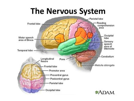 The Nervous System. 1.A bigger brain is better 2.Alcohol kills brain cells 3.Drugs destroy brain tissue 4.Humans use about 10% of their brain 5.Humans.