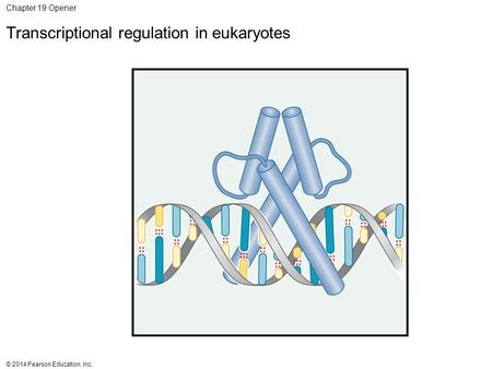 © 2014 Pearson Education, Inc. Chapter 19 Opener Transcriptional regulation in eukaryotes.