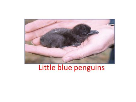 Little blue penguins. Intro The little blue penguins are a flighless bird in New Zealand. The littlest little blue penguin is 43 cm big.