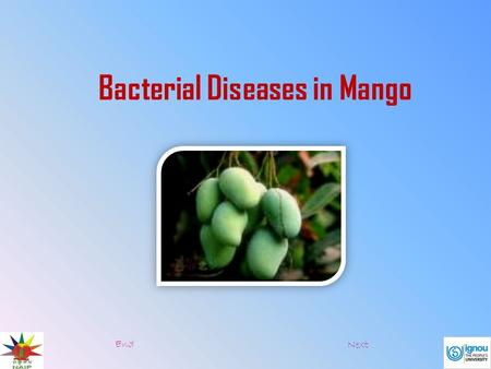 Bacterial Diseases in Mango End Next.  There are two bacterial diseases in banana:  Pseudomonas Wilt  Erwinia Rot Pseudomonas wilt Symptoms:  This.