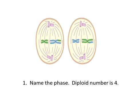 1. Name the phase. Diploid number is 4.. Metaphase II.