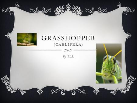 GRASSHOPPER (CAELIFERA) By TLL  They live on all seven continents except Antarctica. HABITAT  Fields and crops.