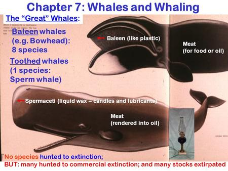 Baleen whales (e.g. Bowhead): 8 species Toothed whales (1 species: Sperm whale) Spermaceti (liquid wax – candles and lubricants) Meat (rendered into oil)