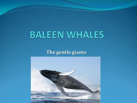 The gentle giants. WHALES All whales are mammals All whales are mammals Mammals share 5 characteristics Mammals share 5 characteristics 1. Breathe air.