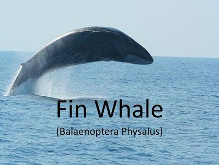 Fin Whale (Balaenoptera Physalus). Where Does the Fin Whale Live? The Fin Whale lives pretty much all over the ocean. The whales are usually found in.
